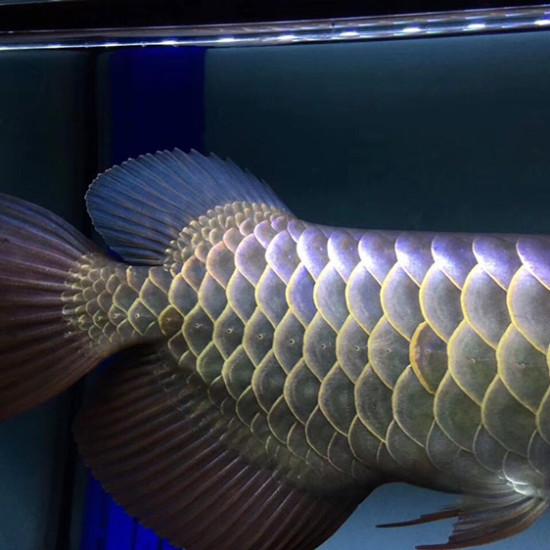 这个珠鳞的确漂亮 太原龙鱼论坛 太原龙鱼第1张