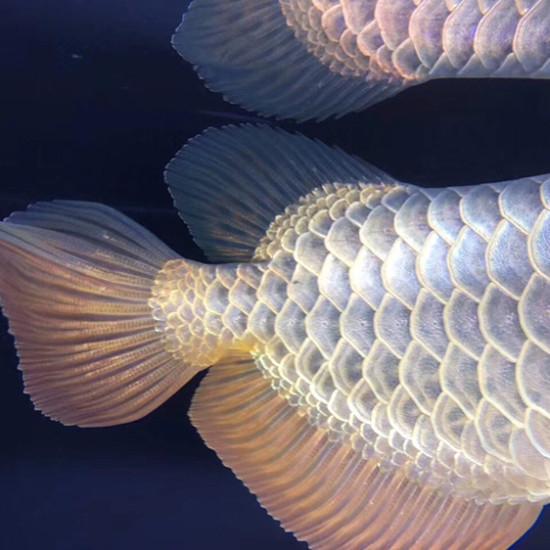 这个珠鳞的确漂亮 太原龙鱼论坛 太原龙鱼第2张