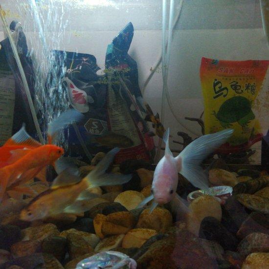 儿子街上捞的小鱼,把我的超白缸占了。 温州龙鱼论坛 温州龙鱼第3张