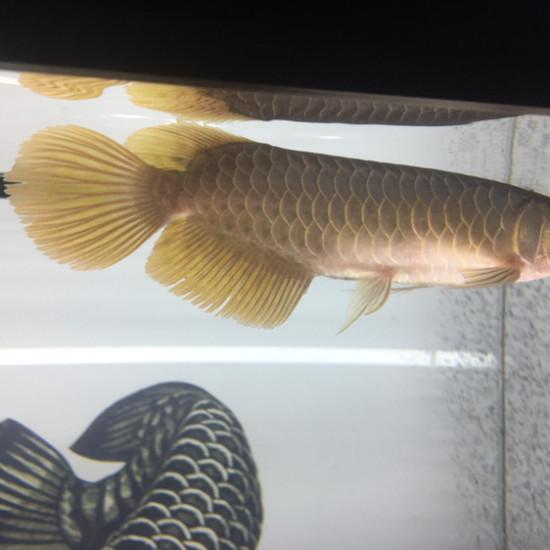 小孟温州观赏鱼一条 温州龙鱼论坛 温州龙鱼第3张