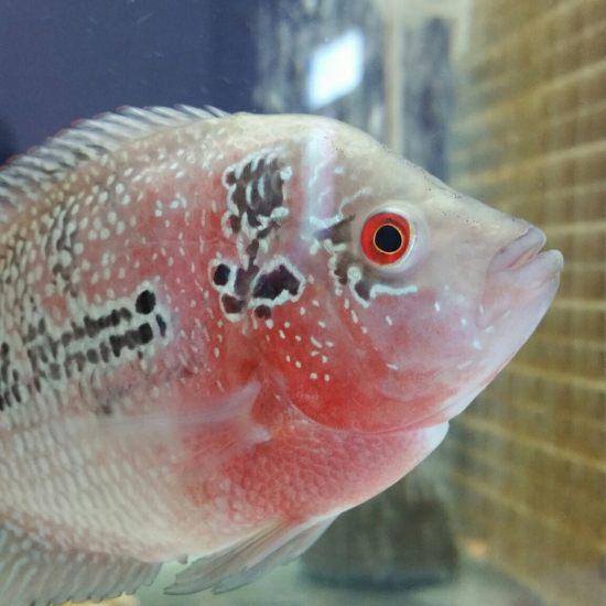 大家帮忙看看这是什么品种。 温州龙鱼论坛 温州龙鱼第1张