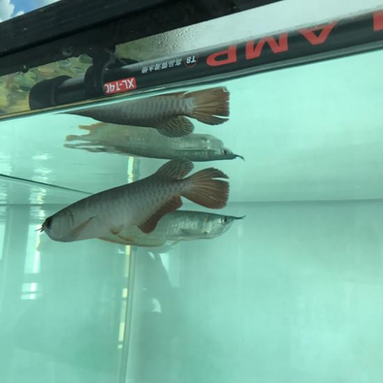 一晚上尾巴就散了 温州水族批发市场 温州龙鱼第1张