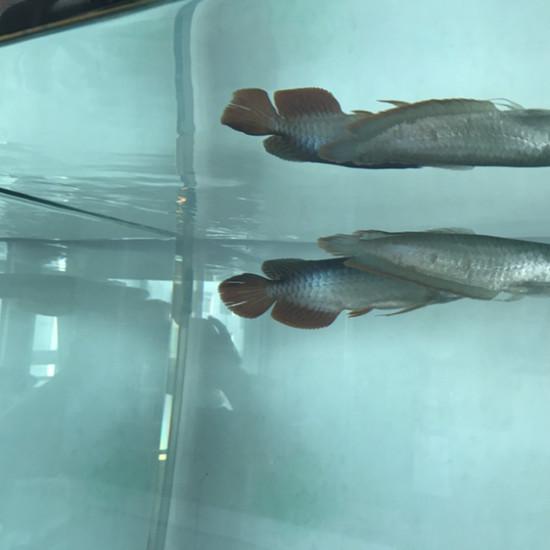 一晚上尾巴就散了 温州水族批发市场 温州龙鱼第2张