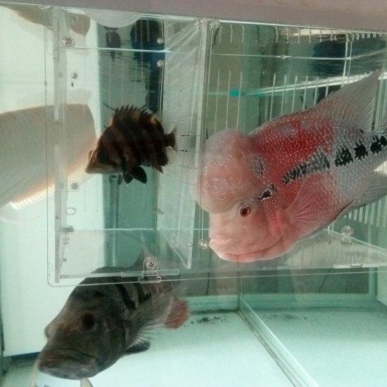 我家小鱼和我儿子小瑜 太原龙鱼论坛 太原龙鱼第3张