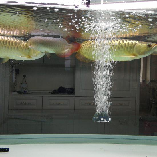 连拍[cahan]#龙鱼# 南充观赏鱼 南充水族批发市场第4张