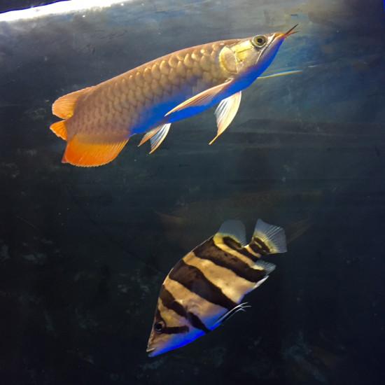 养鱼3个月-继续学习,龙虎魟 签到。 南京水族批发市场 南京龙鱼第1张