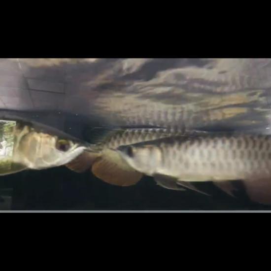 不知道咋样[huaixiao][gouyin] 南充观赏鱼