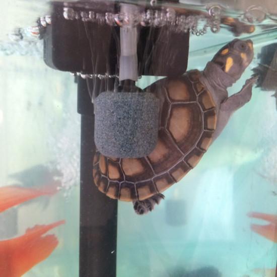 刚请的黄头龟,请问黄色壳还是黑色的好,买的时候有2种色选的 绵阳龙鱼论坛 绵阳水族批发市场第4张