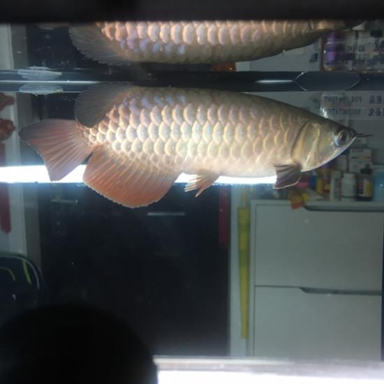 喂了龙鱼,喂招财[ciya] 南京水族批发市场 南京龙鱼第6张