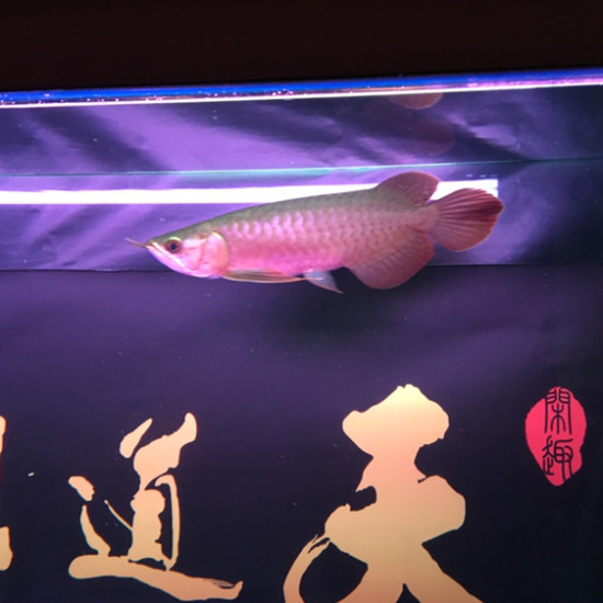 看看这胸鳍 绵阳龙鱼论坛 绵阳水族批发市场第1张