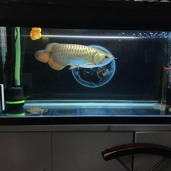 #龙鱼# 回家有七个月了 南充龙鱼论坛 南充水族批发市场第2张