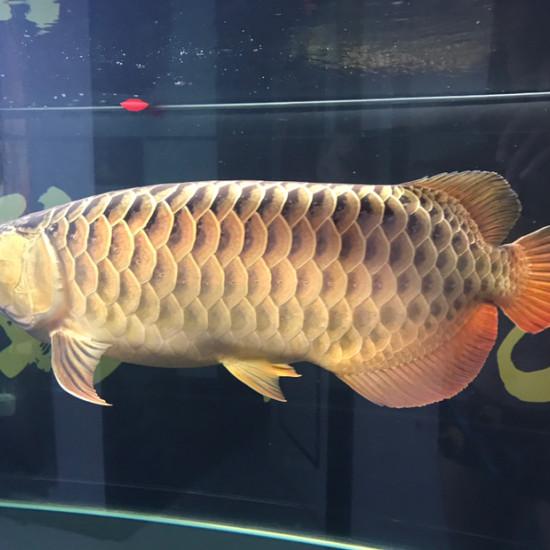 漂亮的金龙鱼[haha][haha][haha] 南京龙鱼论坛 南京龙鱼第4张