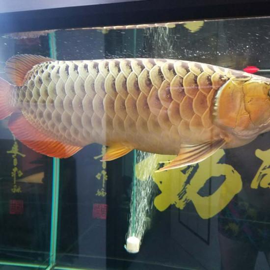 漂亮的金龙鱼[haha][haha][haha] 南京龙鱼论坛 南京龙鱼第2张
