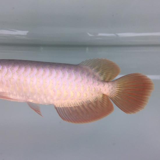 卡普瓦斯之光的红龙 南充龙鱼论坛 南充水族批发市场第2张