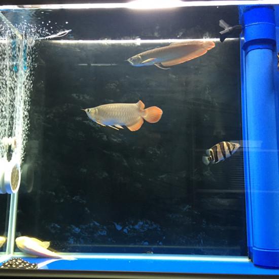 绵阳金龙过背快要换鱼缸了,稍微记录一下这个不合适的小缸。 上海地区如果有人有兴趣 绵阳龙鱼论坛