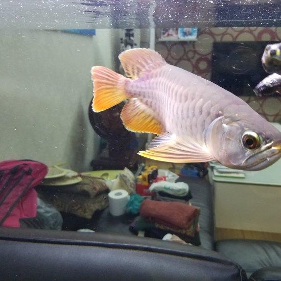 帮忙看下这鱼什么品种?有潜力吗? 南京水族批发市场 南京龙鱼第3张