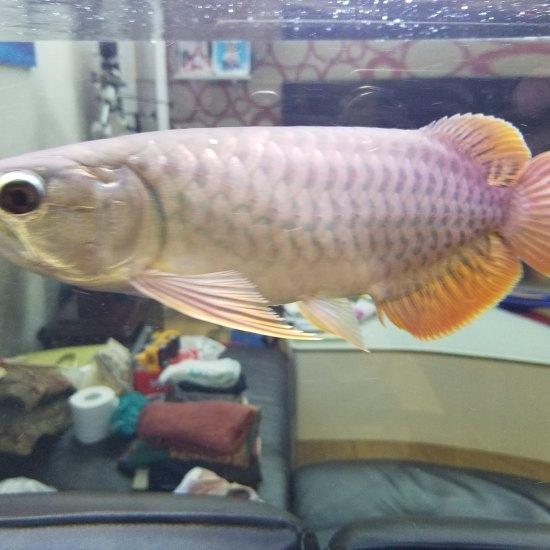 帮忙看下这鱼什么品种?有潜力吗? 南京水族批发市场 南京龙鱼第4张
