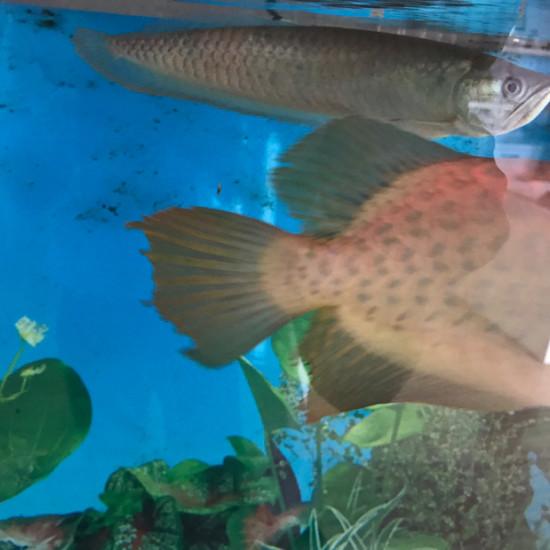 请教这是不烧尾了[peifu][peifu][p绵阳观赏鱼eifu] 绵阳龙鱼论坛
