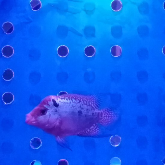 #DIY鱼缸#消毒好,闯缸鱼放入,小泰金更新打卡。 绵阳龙鱼论坛 绵阳水族批发市场第1张