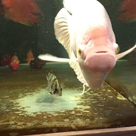 绵阳鱼缸没有对比就没有伤害!这得是多袖珍的一条虎。多久才能长大看上眼啊! 绵阳龙鱼论坛 绵阳水族批发市场第1张
