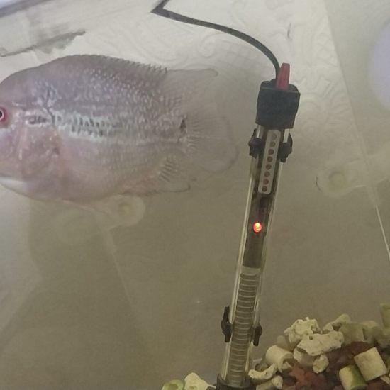 老黄精华12天,跟换了条鱼一样[ciya]#晒晒# 南充观赏鱼 南充水族批发市场第1张