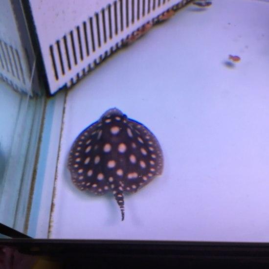 11cm小可爱吃河虾[ciya] 南充观赏鱼 南充水族批发市场第1张