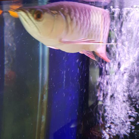 我家这条小金龙最近不爱吃仟湖G1饲料了怎么办?是不是我喂泥鳅吃馋了?泥鳅吃,饲料 西安水族批发市场 西安龙鱼第3张