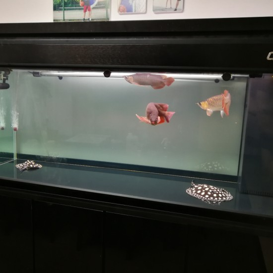 透缸也是蛮帅的 南充观赏鱼