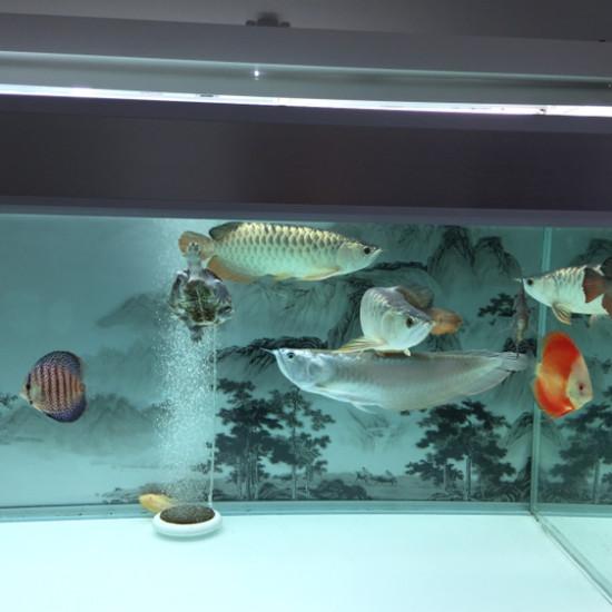 现在鱼邻上除了商家发广告外,讨论关于鱼的鱼友越来越少了,基本信上个晒个的鱼,晚上 绵阳龙鱼论坛