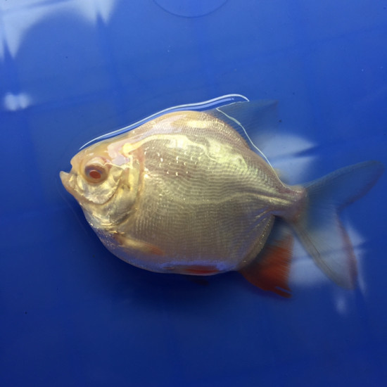 圆不圆[西安去哪里买观赏鱼ciya] 西安水族批发市场 西安龙鱼第2张