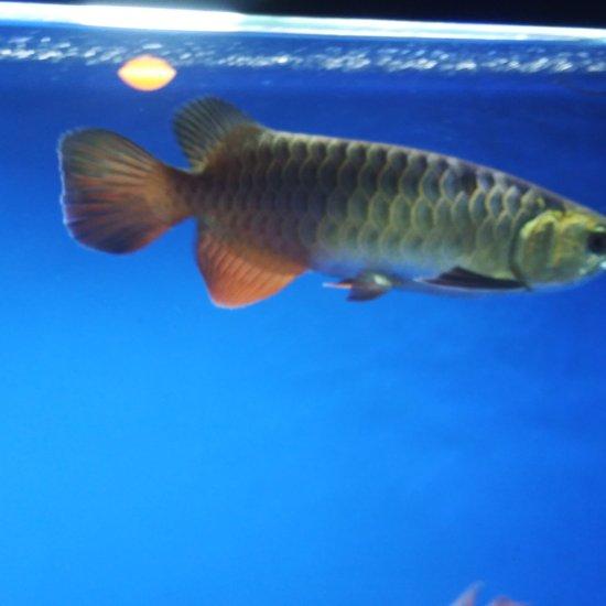 鱼友来看看,我这鱼是什么品质,现在26cm,[ciya] 天津龙鱼论坛 天津龙鱼第2张