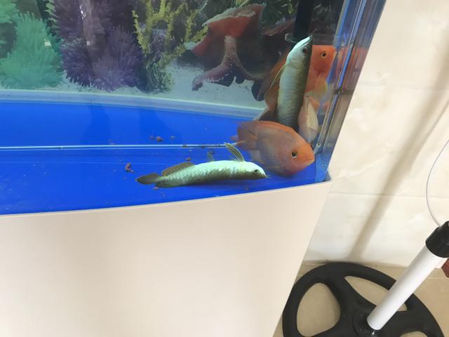 每次换完水你们都要晕两小时,不争气[baiyan] 南京水族批发市场 南京龙鱼第4张