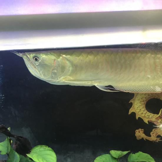 银龙是否开始黄化 南京龙鱼论坛 南京龙鱼第3张