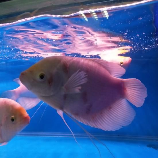 南京水族馆#鱼邻智囊团#求助,用高锰酸钾连泡了一星期,还不见效,而且还稍微加重了 南京龙鱼论坛