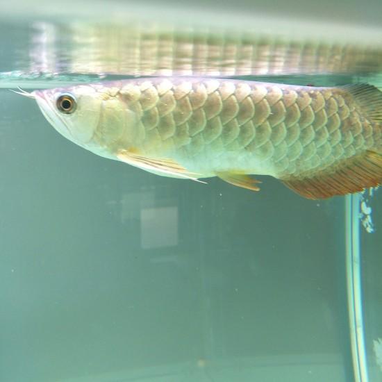 哈尔滨鱼市三龙混一个多月了 哈尔滨龙鱼论坛 哈尔滨龙鱼第1张