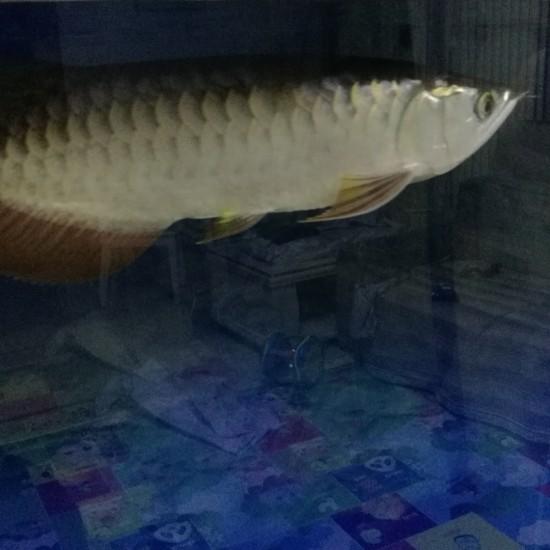 有点金色了 南京龙鱼论坛 南京龙鱼第1张