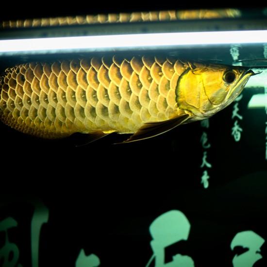 龙鱼摄影!漂亮吗! 哈尔滨龙鱼论坛 哈尔滨龙鱼第3张