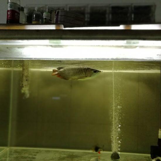 九个多月了,当初买鱼还是避免不了给卖家坑了,故意不拍嘴巴,兜嘴了,现在越来越兜了 南京龙鱼论坛 南京龙鱼第3张
