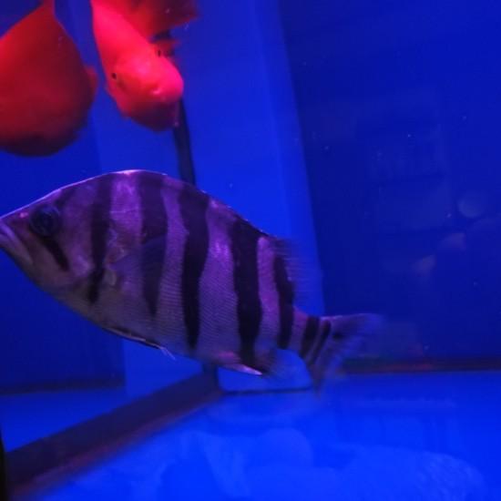 不吃不喝的巴西亚和虎,是嫌弃干虾不好吃吗,ps:这个虎怎么样 南京龙鱼论坛 南京龙鱼第2张