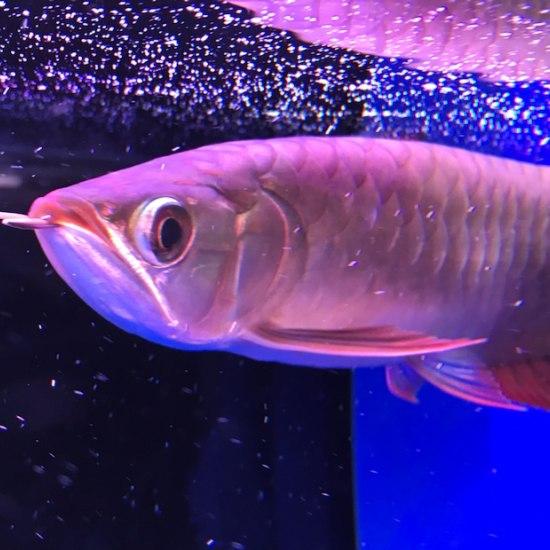 哈尔滨去哪买鱼缸红龙不知道以后能红吗?请高手解答 哈尔滨水族批发市场 哈尔滨龙鱼第3张