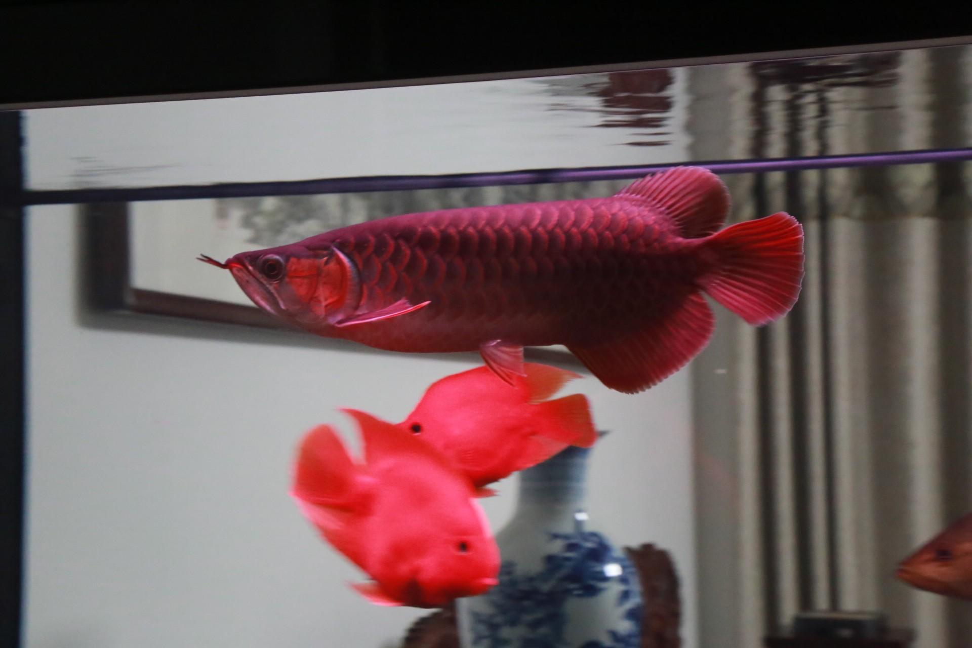 放假回家看鱼 渭南水族批发市场 渭南龙鱼第2张