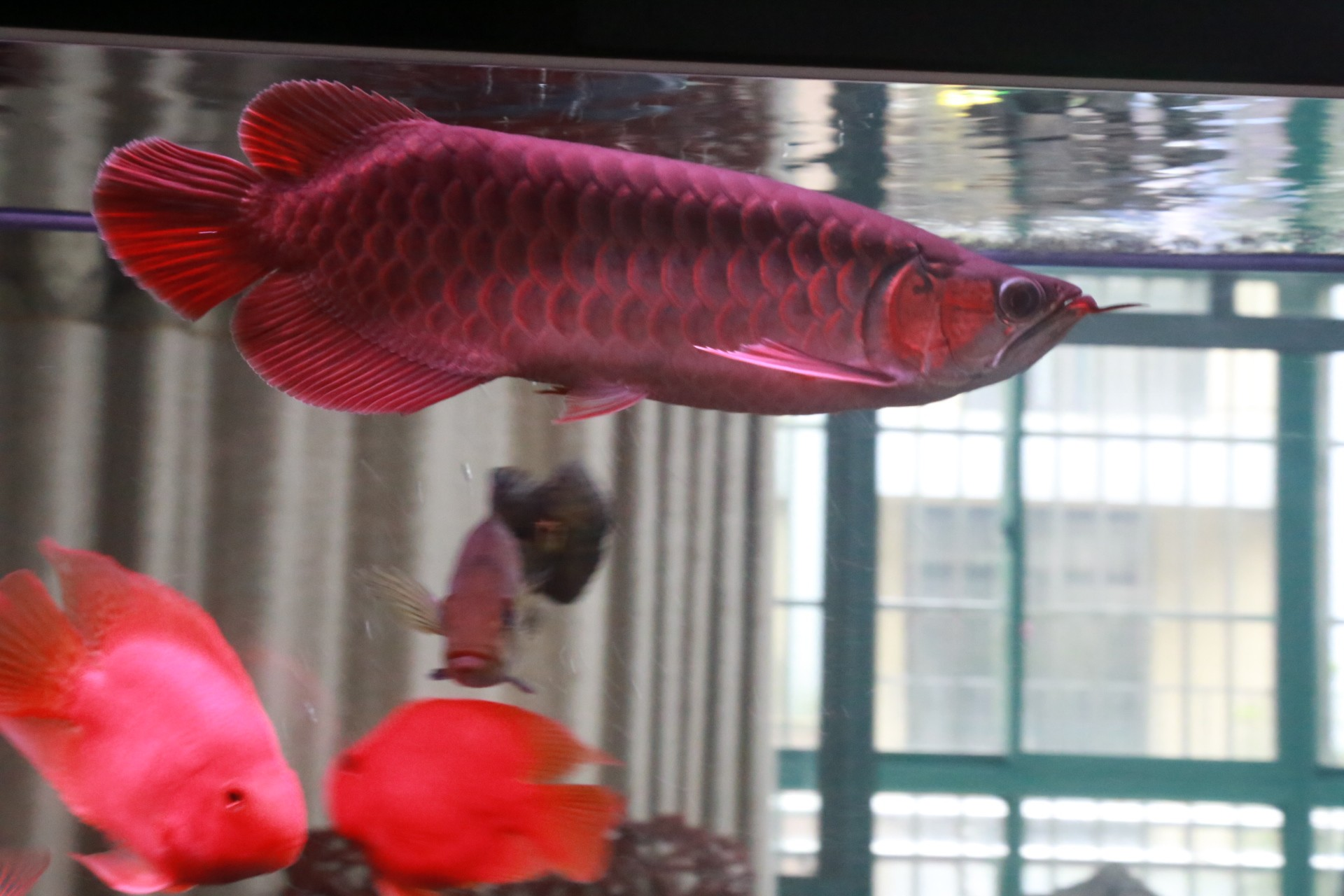 放假回家看鱼 渭南水族批发市场 渭南龙鱼第4张
