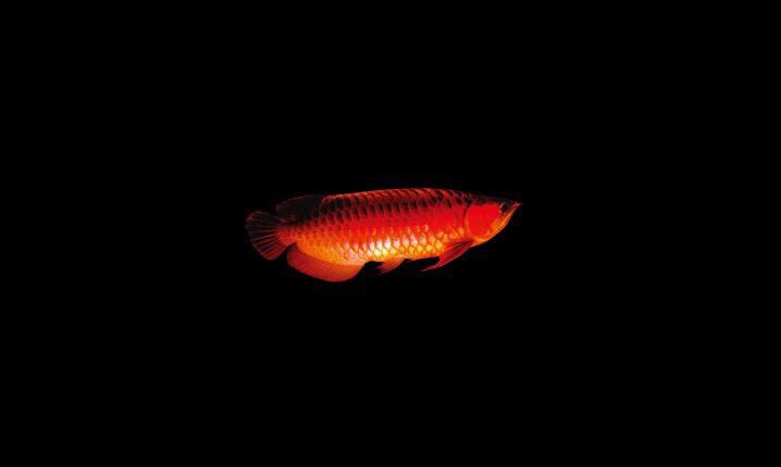 长治红盖子七彩鱼为兴趣爱好学习 长治水族批发市场 长治水族批发市场第3张