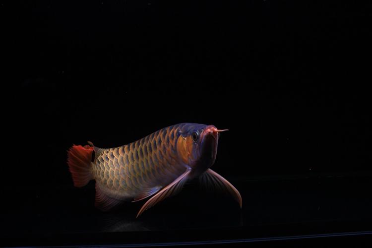 长治红盖子七彩鱼为兴趣爱好学习 长治水族批发市场 长治水族批发市场第4张