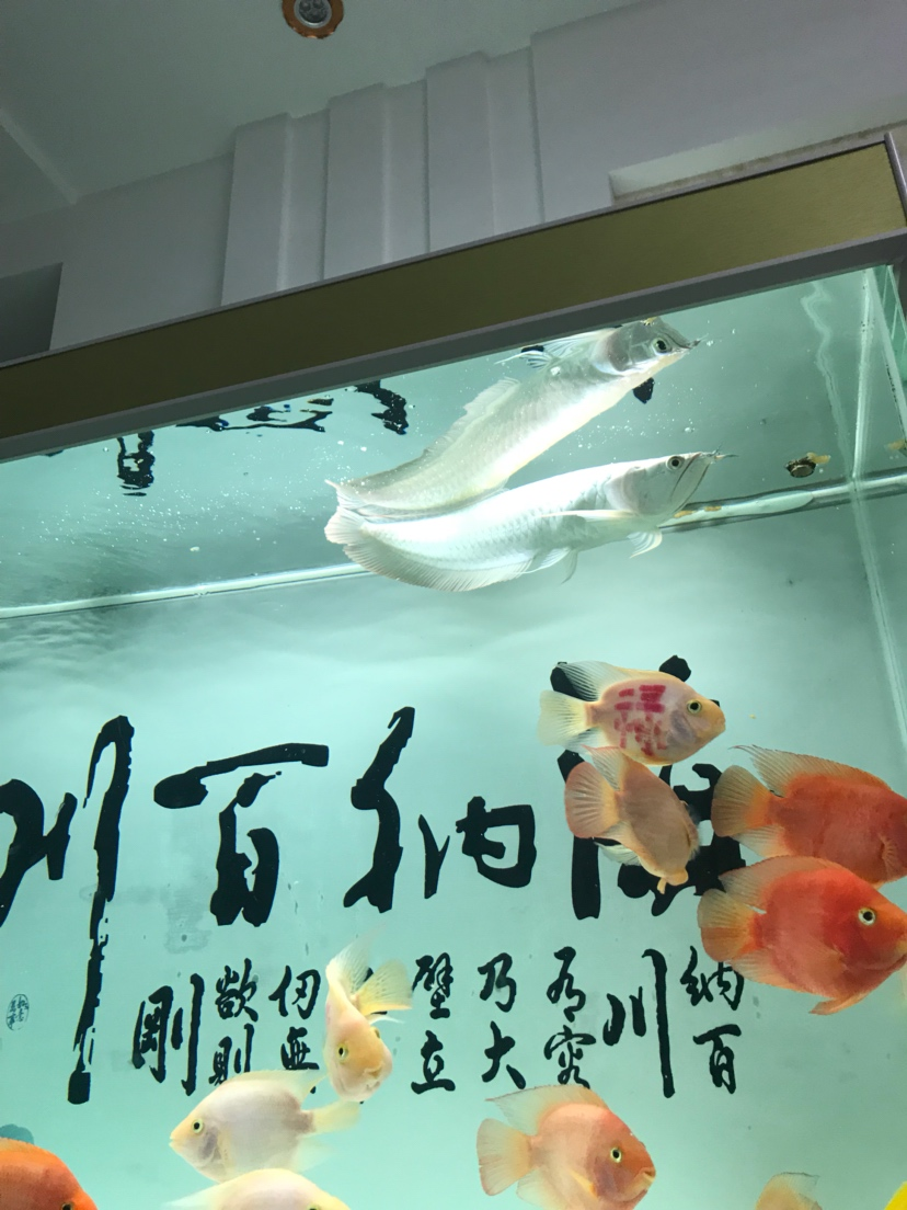 济南宠物狗市场一条银龙十二条鹦鹉280打包带走 济南观赏鱼 济南龙鱼第4张
