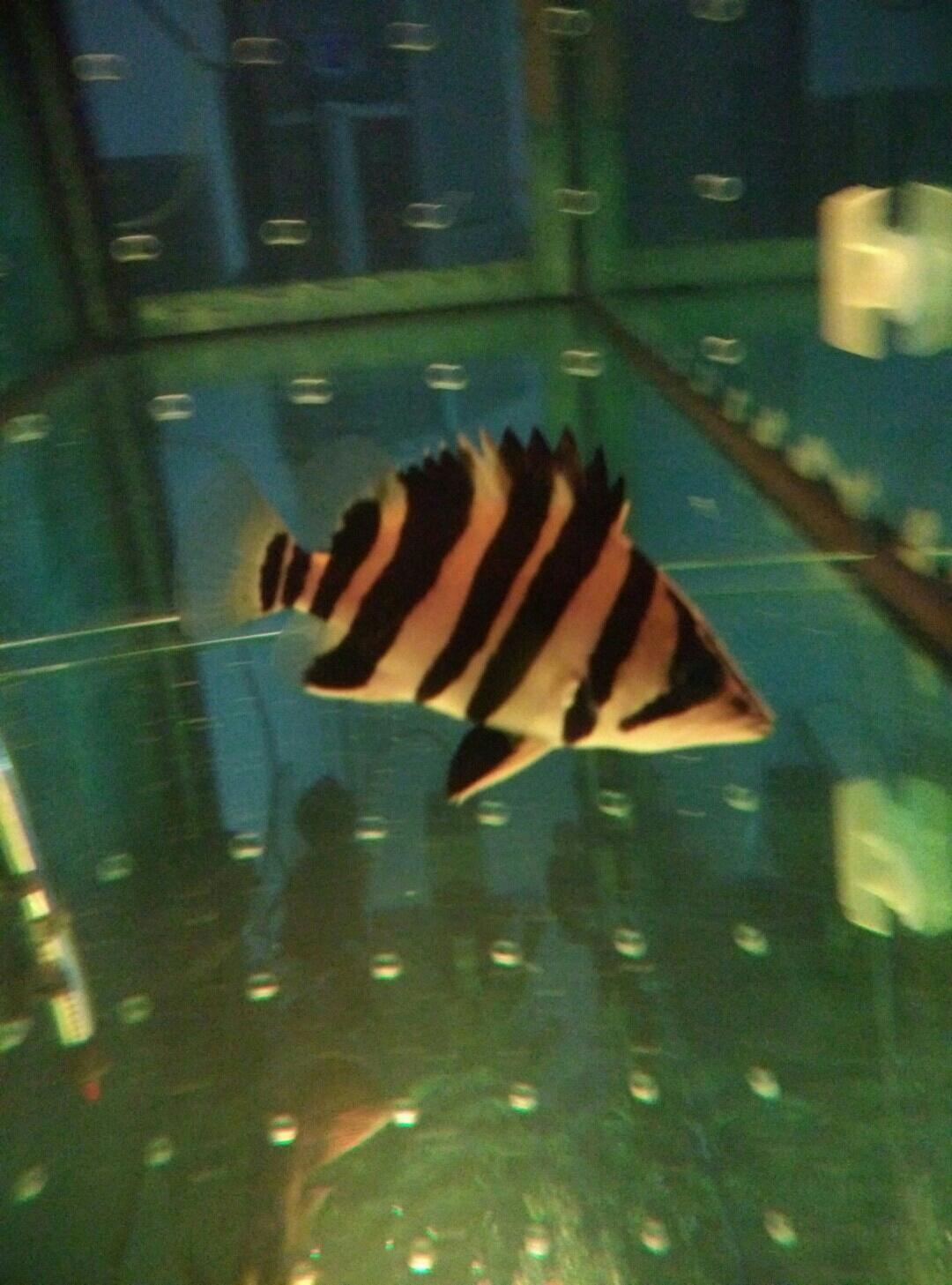 一条小虎是怎么练成的 呼和浩特龙鱼论坛 呼和浩特龙鱼第4张