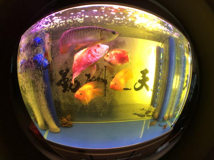 上海附近水族馆金龙被嘴贱惹火撞缸了 上海水族批发市场 上海龙鱼第3张