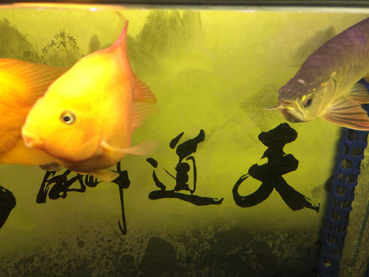 上海附近水族馆金龙被嘴贱惹火撞缸了 上海水族批发市场 上海龙鱼第1张