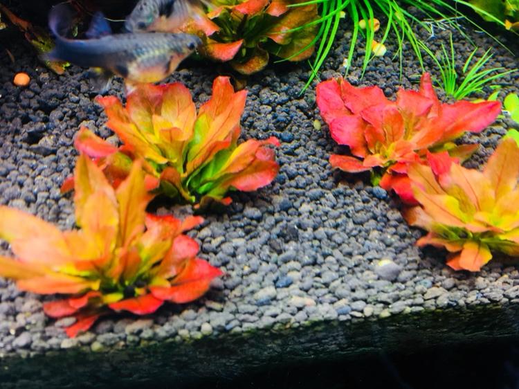 绿的够绿红的够红 西宁龙鱼论坛 西宁龙鱼第1张