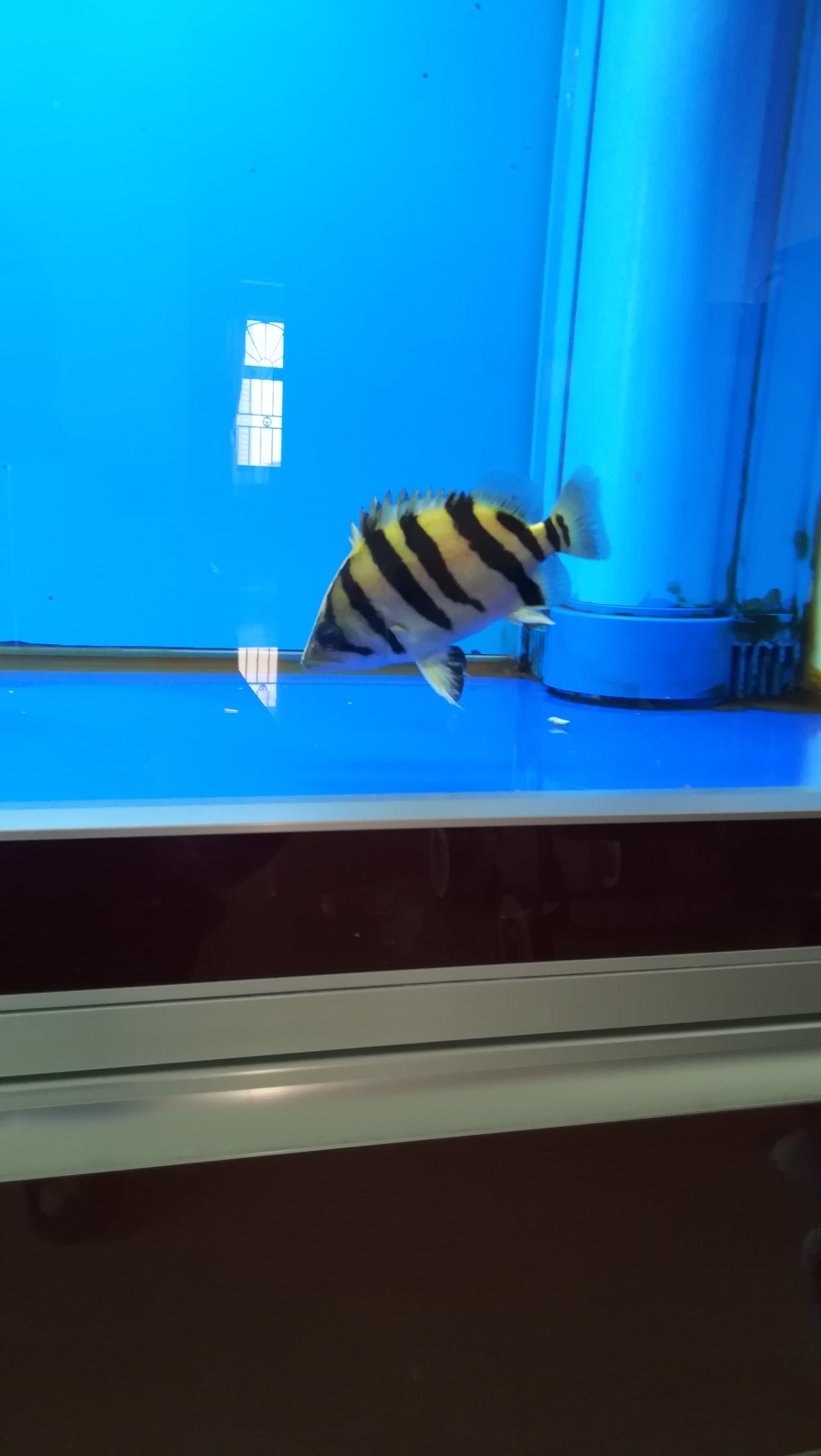 龙鱼的新伙伴小黑虎 湖州水族批发市场 湖州水族批发市场第2张